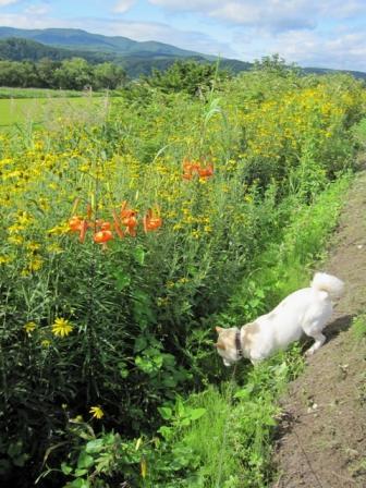 イヌは食べられる草を探している