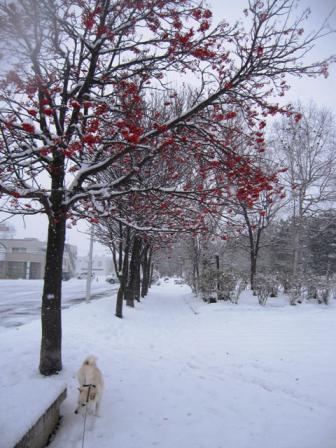 旭川市の木、ナナカマド