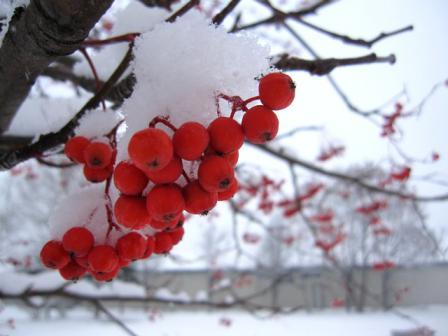 雪をかぶった赤い実が可愛い