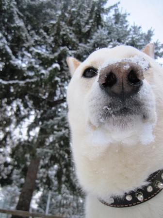 冬になると鼻色が薄くなる