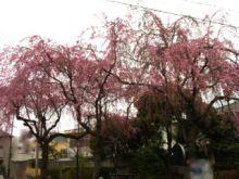 $Juanaの歌-sakura