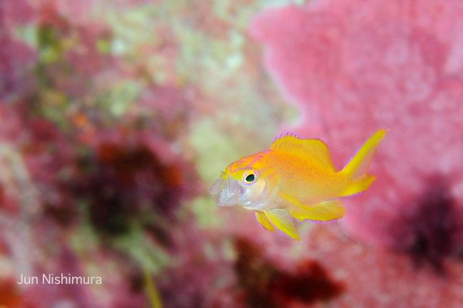 201206-コウリンハナダイ−幼魚