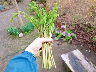 シオデ収穫