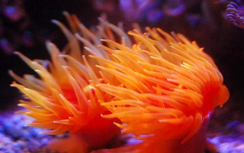 ハナタテサンゴ