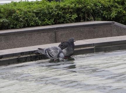 しぶや 鳩