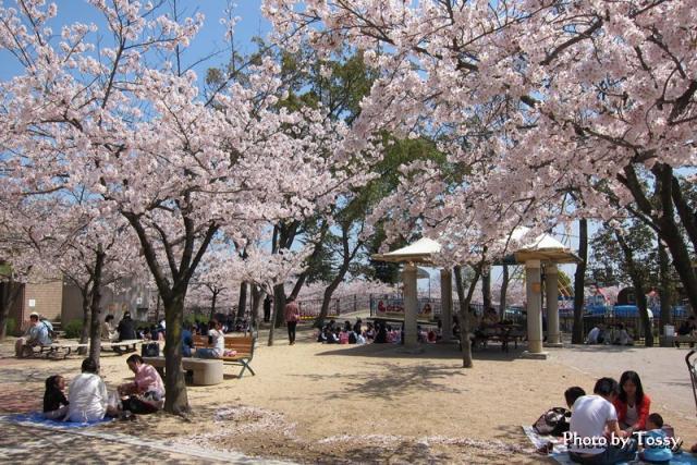 桜の下でお弁当タイム