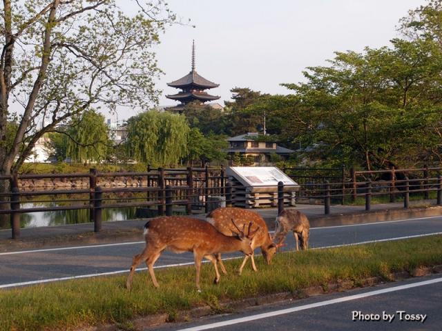 五重塔と鹿