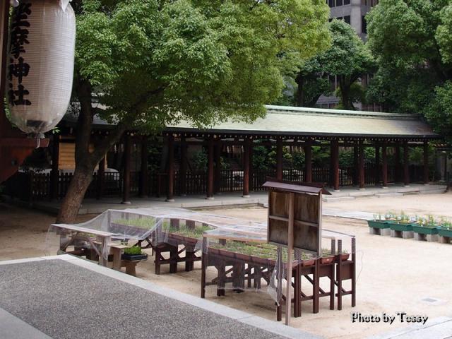 坐摩神社 サギソウ栽培中