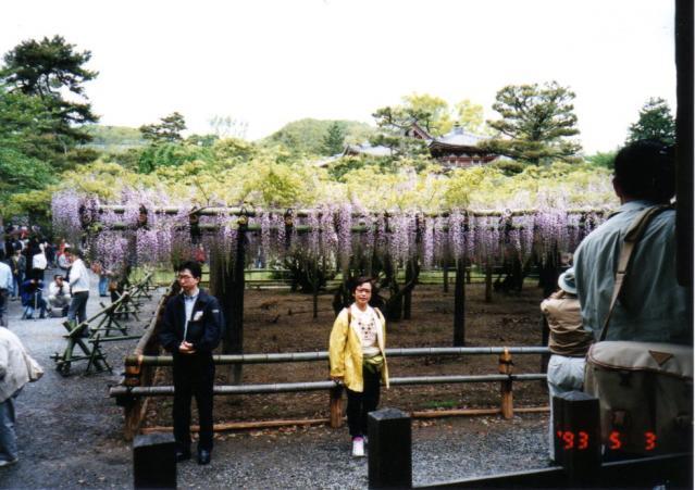 藤棚 1993/05/03