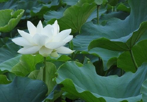 白い蓮の花7