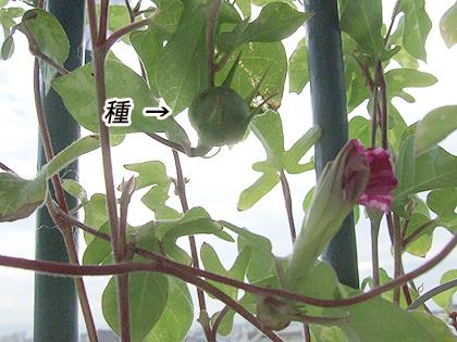 つぼみと種