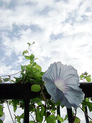 ベランダで咲き誇る朝顔