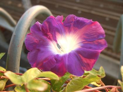 前より小ぶりになった朝顔の花