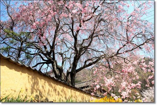 枝垂れ桜-1*