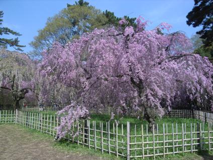 御所の桜!