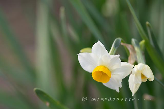 2013年1月20日 大阪城梅園の水仙の花1