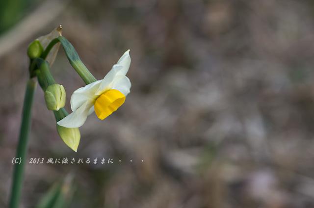 2013年1月20日 大阪城梅園の水仙の花2