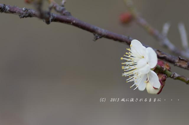 2013120 大阪城梅園 冬至1