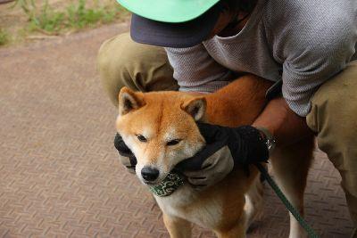 遊ばれる柴犬