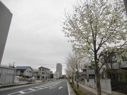 コブシ咲く街路