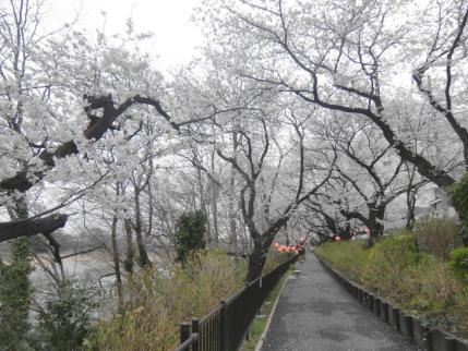 前橋市石倉の桜並木