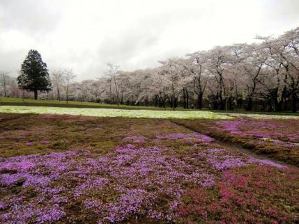 芝桜と千本桜