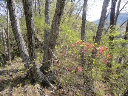 ヤマツツジが咲き出した