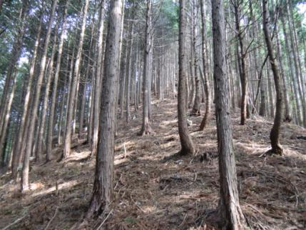 しばし植林帯を