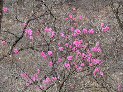 西尾根に咲くアカヤシオ