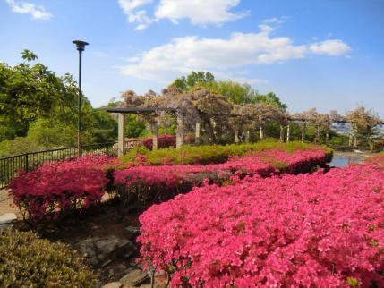 ツツジ咲く織姫公園