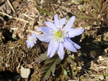 花弁の数が多いキクザキイチゲ