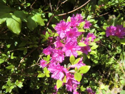 白谷沢登山口に咲くミツバツツジ