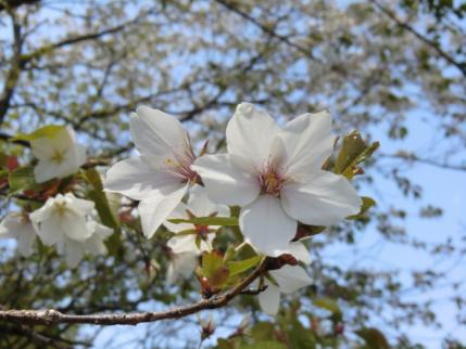 山頂の山桜