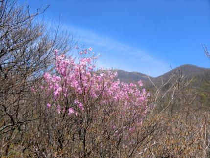 アカヤシオと後方に地蔵岳