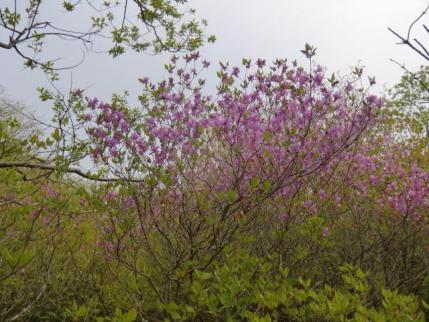 棚上十字路に咲くミツバツツジ