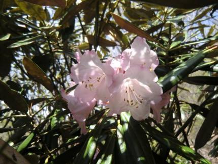 荒山山頂下に咲くアズマシャクナゲ