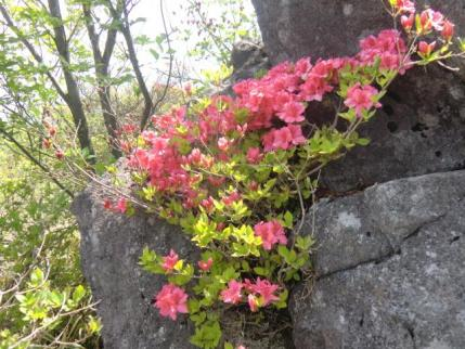 人面岩に咲くヤマツツジ