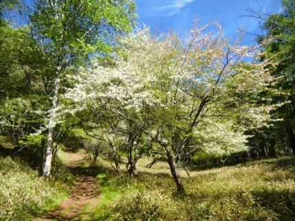 ズミが咲く小道