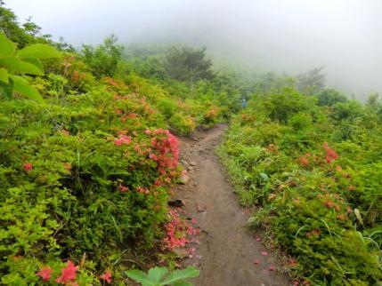 霧のなかヤマツツジの道を