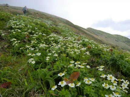 ハクサンイチゲと後方に平標山