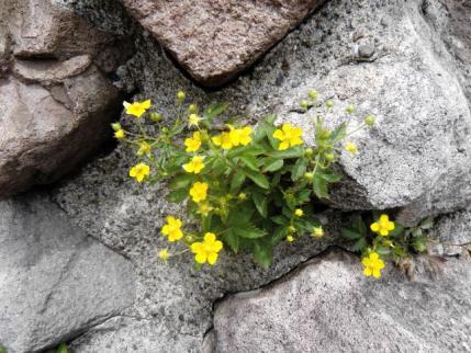 ケルンに咲く花
