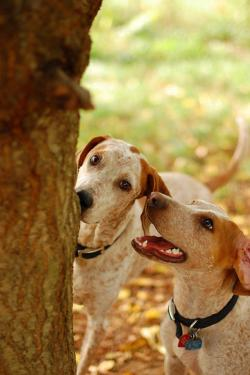 english-coonhounds-580_convert_20120619214309.jpg