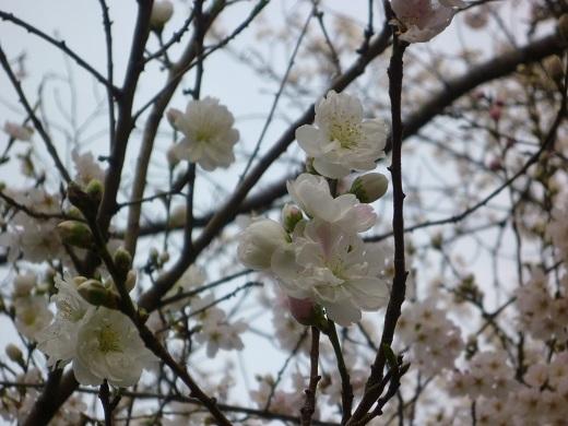 シナモモ花