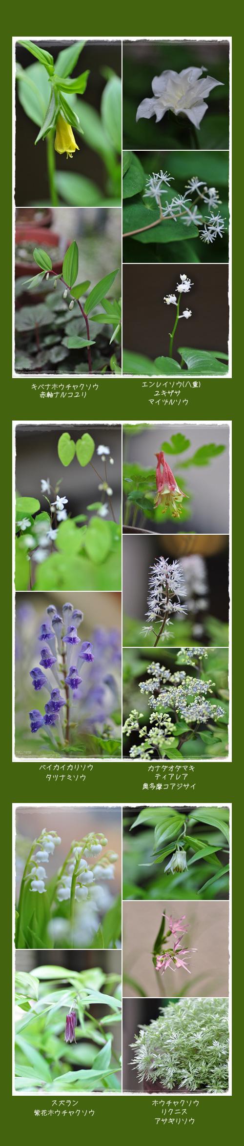 5月8日庭の花2