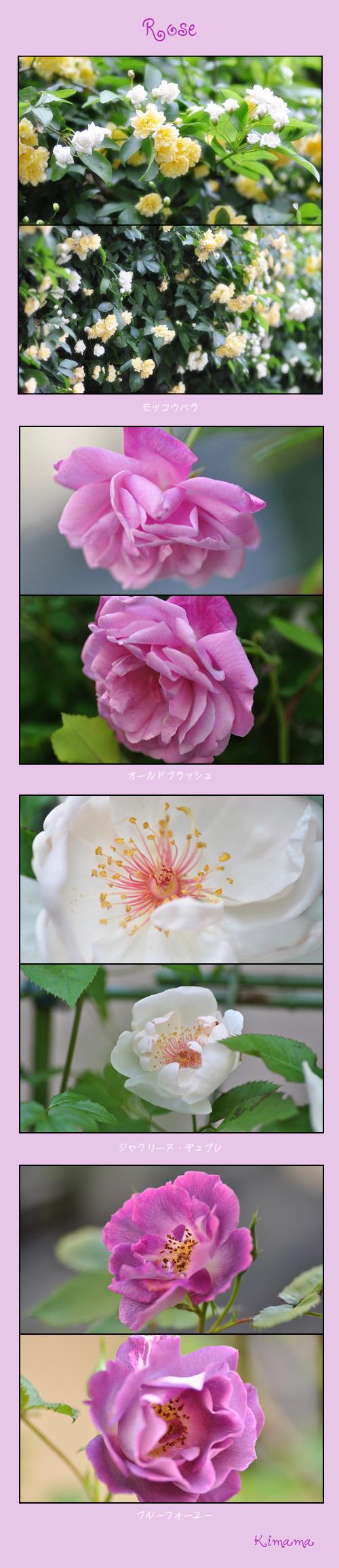 5月13にい薔薇1