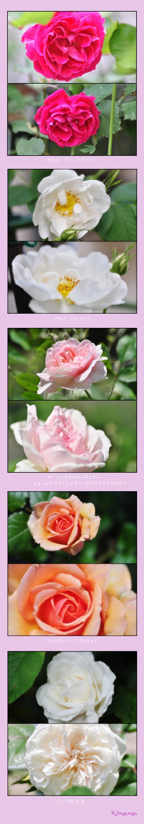 5月13日薔薇2