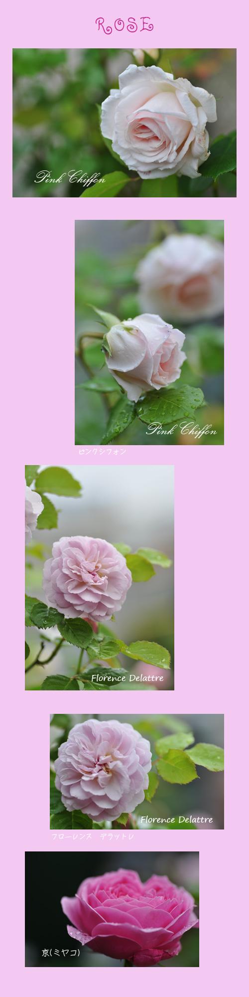 5月22日薔薇2