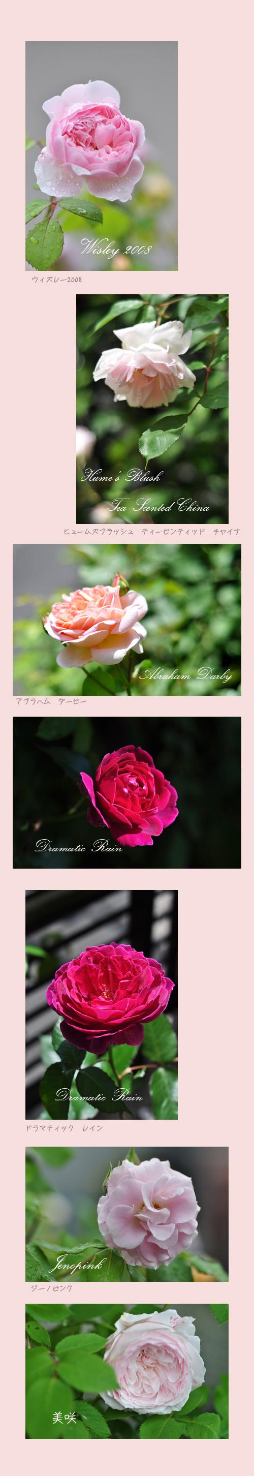 5月22日薔薇3
