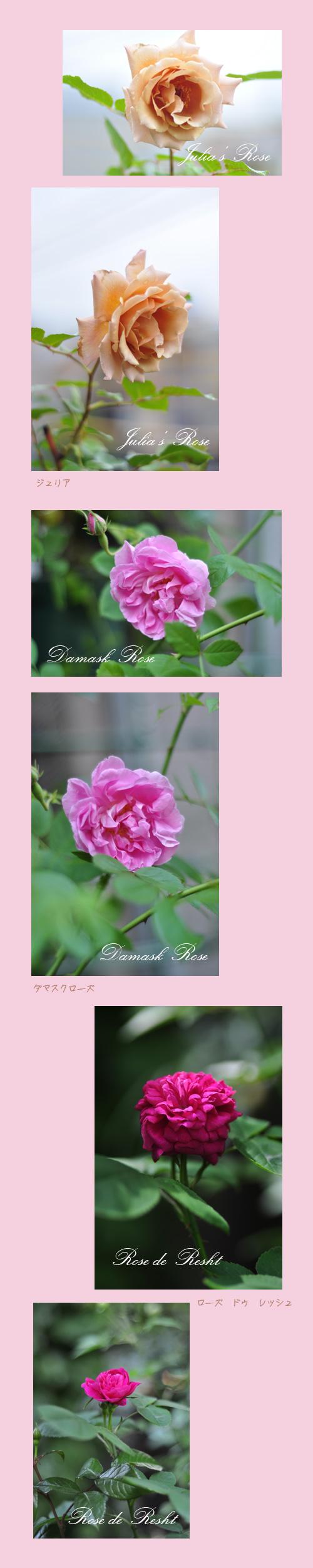5月22日薔薇4