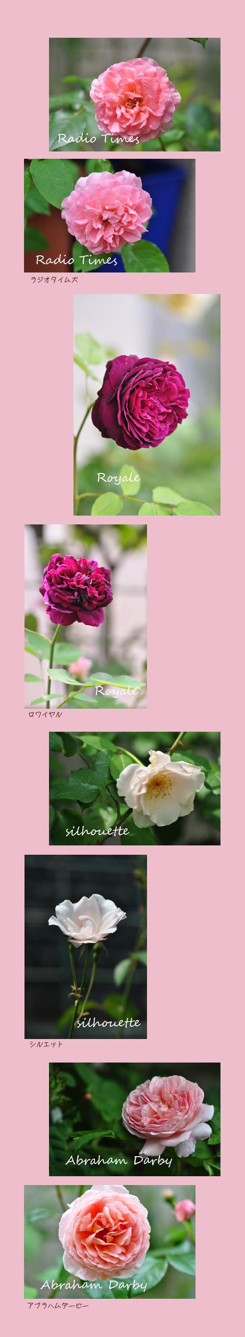 5月26日薔薇2